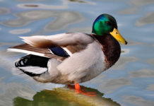 duck 1 All Posts