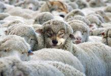 Wolf Pastor 1