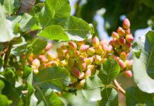Pistachio Nut Tree1 1